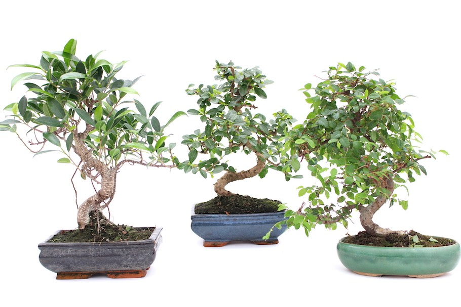 Indoor Bonsai plants-diwali-gifts-ideas
